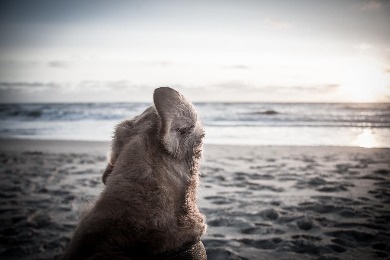 dänemark_hund