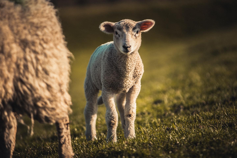 Aufmerksames-Lamm-auf-Nordstrand-Husum