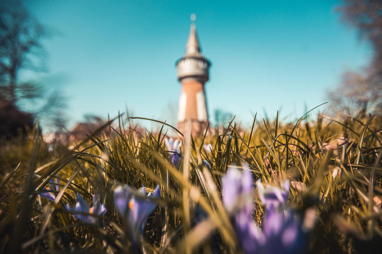Krokusse-vor-dem-Wasserturm-Husum