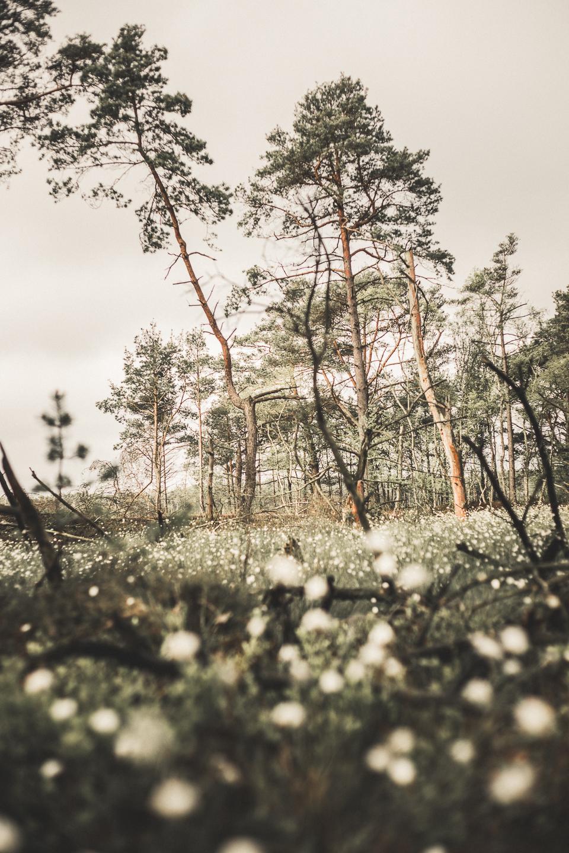 Ein-wunderschoenes-Naturspektakel-die-Wollgrasbluete-Lueneburger-Heide