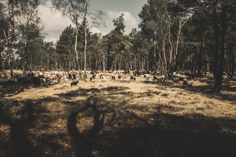 Heidschnucken-Herde-bei-Schneverdingen