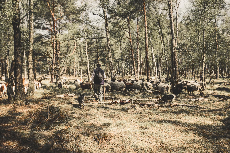Schaefer-mit-seiner-Heidschnucken-Herde-bei-Schneverdingen