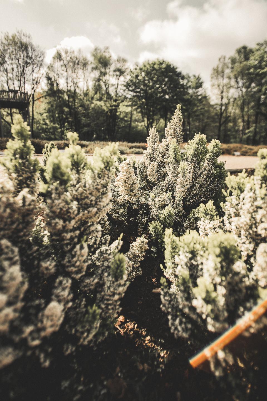 Weiße-Heidebluete-im-Heidegarten-Schneverdingen