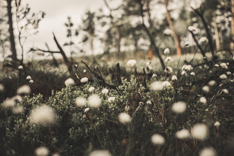 Wollgrasbluete-Lueneburger-Heide-im-Pietzmoor-ist-unbeschreiblich