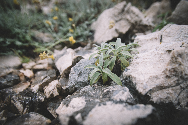 Wildsalbei ist an vielen Orten der Insel Cres zu finden