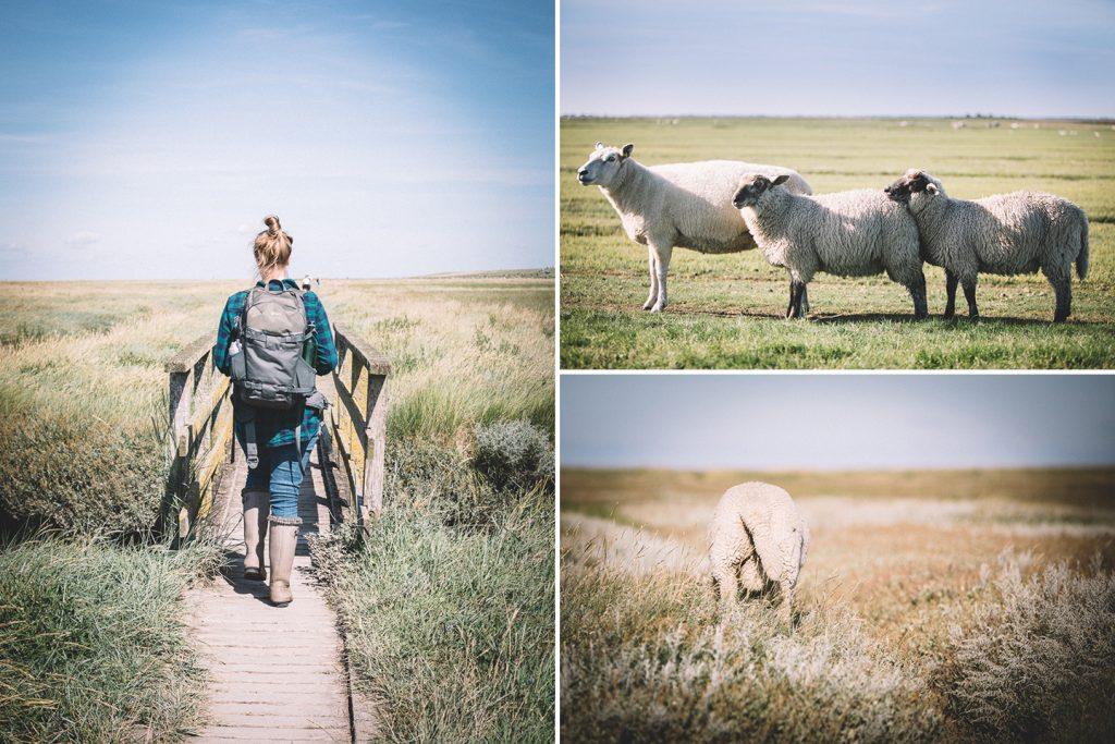 Schafe in den Salzwiesen vor dem Westerhever Leuchtturm.